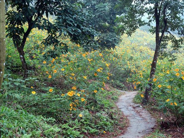 Hoa dã quỳ nở rực rỡ tại vườn quốc gia Ba Vì