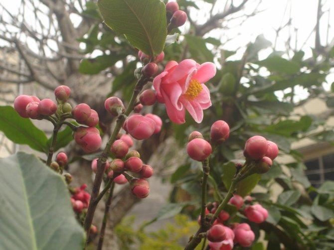 Hướng dẫn cách trồng và chăm sóc hoa hải đường