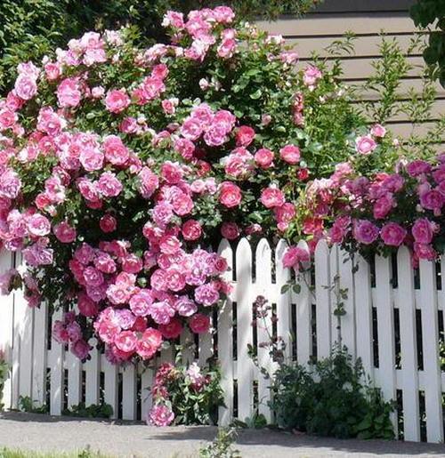 Kĩ thuật trồng và chăm sóc hoa hồng leo