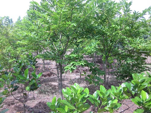 Kỹ thuật trồng cây na dai