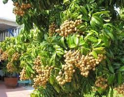 Kỹ thuật trồng cây nhãn lồng hưng yên