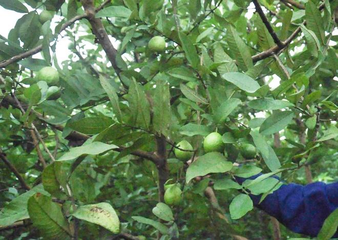 Kỹ thuật trồng ổi bốn mùa Đông Dư