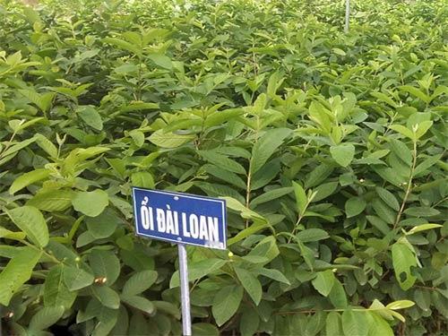 Kỹ thuật trồng cây Ổi Đài Loan