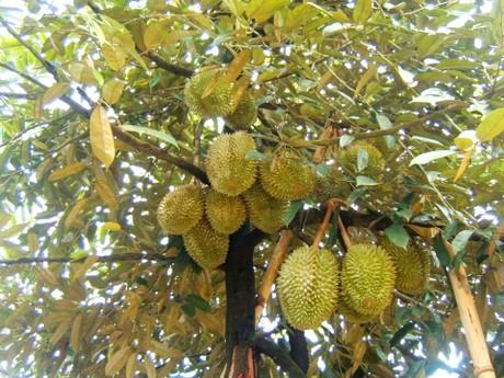 Cách xử lý cây Sầu riêng hạt lép ra hoa
