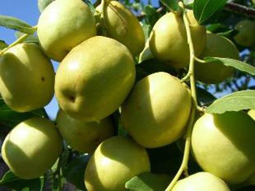 Kỹ thuật trồng và chăm sóc táo đào vàng