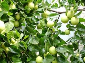 Kỹ thuật trồng cây táo ngọt
