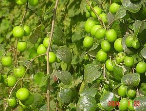 Kỹ thuật trồng cây táo thái