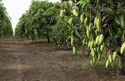 Kỹ thuật trồng cây xoài đài loan